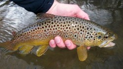 Beautiful Driftless Brown Trout