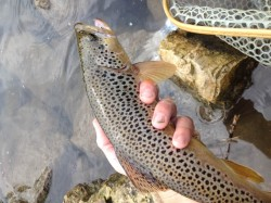 Trico Spinner Fall Trout