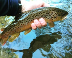 Summer Time Brown Trout