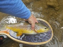 Big Driftless Brown Trout